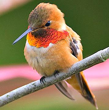 rufous_hummingbird_3 (1)